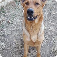 Adopt A Pet :: Niko(laus) - Fort Riley, KS