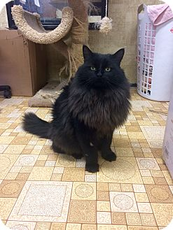 Domestic Longhair Cat for adoption in Smithers, British Columbia - Yellow