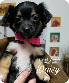 Dachshund Mix Puppy for adoption in Plainfield, Illinois - Daisy