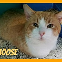 Adopt A Pet :: Moose - Anderson, IN