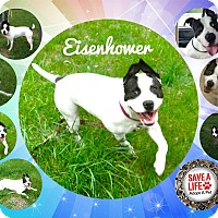 American Pit Bull Terrier Mix Dog for adoption in Buffalo, Indiana - Eisenhower is  ADOPTED