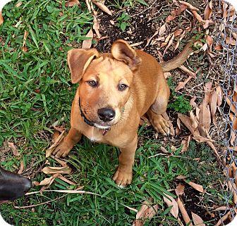 Labrador Retriever/Shepherd (Unknown Type) Mix Puppy for adoption in Miami, Florida - Bear