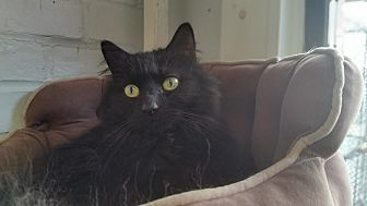 Domestic Longhair Cat for adoption in Bloomingdale, New Jersey - Cosmo