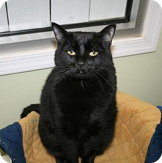 Domestic Shorthair Cat for adoption in Norfolk, Virginia - Satine