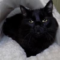 Domestic Longhair/Domestic Shorthair Mix Cat for adoption in North Myrtle Beach, South Carolina - Belle