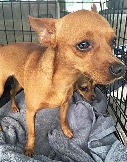 Chihuahua Mix Dog for adoption in Savannah, Georgia - Will