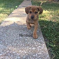 Adopt A Pet :: Nimbus - ST LOUIS, MO