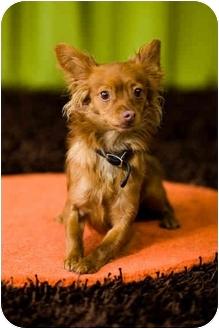 Chihuahua Mix Dog for adoption in Portland, Oregon - Viggo