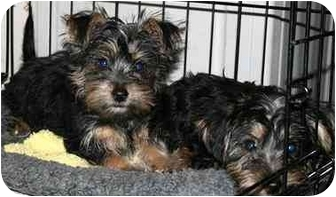 Silky Terrier Puppy for adoption in House Springs, Missouri - Dawson and Pacey