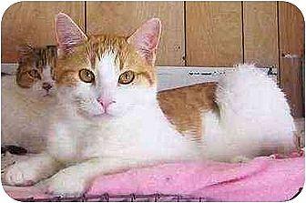 Domestic Shorthair Cat for adoption in Chapman Mills, Ottawa, Ontario - MILES