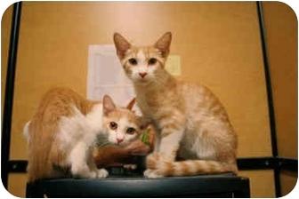 Domestic Shorthair Kitten for adoption in Orlando, Florida - Tuffy