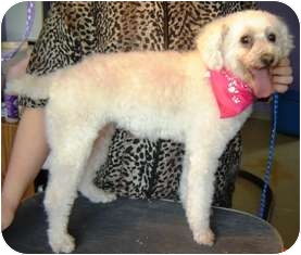 Poodle (Miniature) Dog for adoption in Osseo, Minnesota - Precious