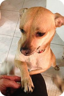 Shepherd (Unknown Type)/Terrier (Unknown Type, Medium) Mix Dog for adoption in Los Angeles, California - Scooby