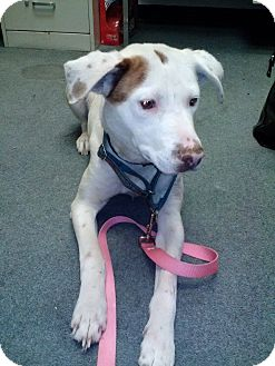 Pointer/Labrador Retriever Mix Dog for adoption in Franklinville, New Jersey - Laney
