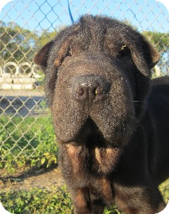 Shar Pei Puppy for adoption in Houston, Texas - Channing