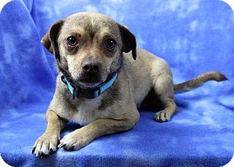 Pug/Beagle Mix Dog for adoption in Westminster, Colorado - Cisco Kid