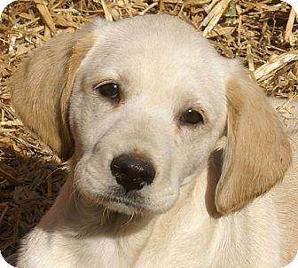 Labrador Retriever Mix Puppy for adoption in Spring Valley, New York - Sam