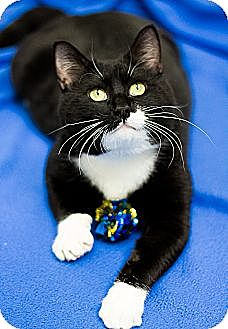 Domestic Shorthair Cat for adoption in Chicago, Illinois - Carson