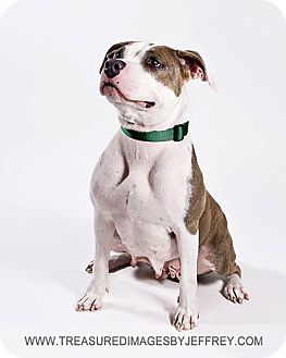 Pit Bull Terrier/American Staffordshire Terrier Mix Dog for adoption in Fremont, Michigan - Independence