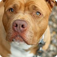 Adopt A Pet :: Honey - Tinton Falls, NJ