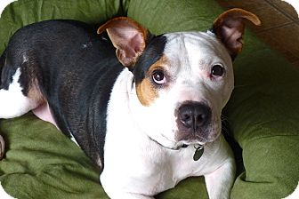 American Pit Bull Terrier Mix Dog for adoption in Reisterstown, Maryland - Batman