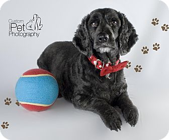 Dachshund/Cocker Spaniel Mix Dog for adoption in Vista, California - Charlie