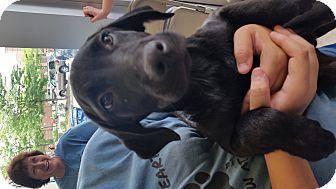 Labrador Retriever Mix Puppy for adoption in Mantua, New Jersey - Big Boy