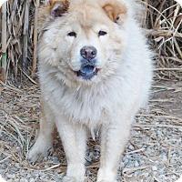 Adopt A Pet :: Bear - Sacramento, CA