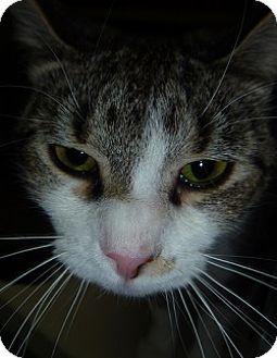 Domestic Shorthair Cat for adoption in Hamburg, New York - Laurel