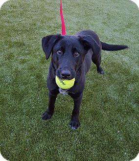 Labrador Retriever/Border Collie Mix Dog for adoption in Germantown, Tennessee - Jet