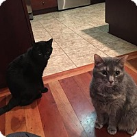 Domestic Shorthair Cat for adoption in Harrisonburg, Virginia - Leo and Lily