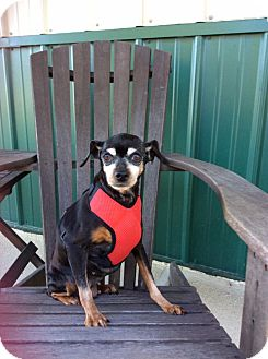 Chihuahua Mix Dog for adoption in Mechanicsburg, Ohio - Sammie