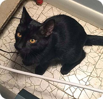 Domestic Shorthair Kitten for adoption in Lombard, Illinois - Creole