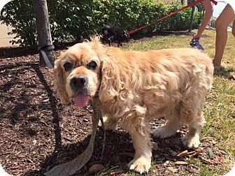Cocker Spaniel Mix Dog for adoption in Cincinnati, Ohio - Ozzy