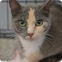 Adopt A Pet :: Mittens - Merrifield, VA