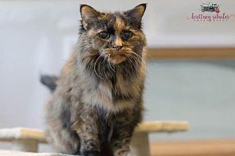 Domestic Longhair Cat for adoption in Stroudsburg, Pennsylvania - Sage