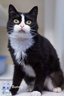Domestic Shorthair Cat for adoption in Merrifield, Virginia - Bunny