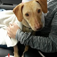 Adopt A Pet :: Sophie - East Hartford, CT