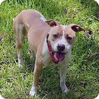 Pit Bull Terrier/Labrador Retriever Mix Dog for adoption in Brooksville, Florida - 10311399 MOO