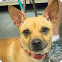 Chihuahua Mix Dog for adoption in Loudonville, New York - Lindsey