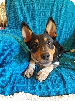 Welsh Corgi/Feist Mix Puppy for adoption in Hagerstown, Maryland - Hansel  (has been adopted)