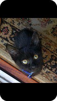 Domestic Shorthair Kitten for adoption in Oakley, California - Cain