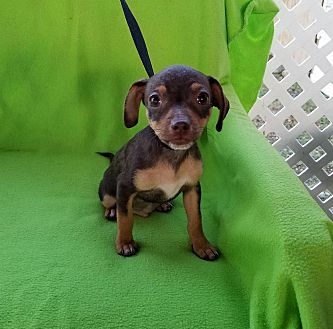 Chihuahua Mix Puppy for adoption in Albany, New York - Jalapeno