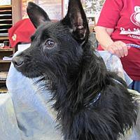 Adopt A Pet :: SCOTTIE - Anna, IL