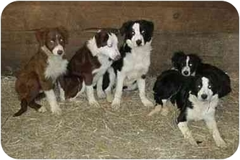 Border Collie/Border Collie Mix Dog for adoption in Tiffin, Ohio - Belmont Boys