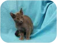Russian Blue Kitten for adoption in Tampa, Florida - Natasha