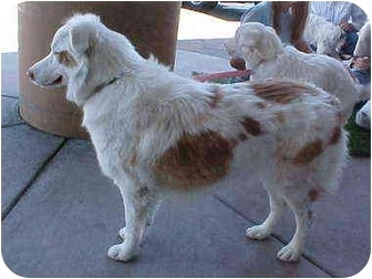 Australian Shepherd Dog for adoption in Mesa, Arizona - Ginger