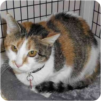 Domestic Shorthair Cat for adoption in Denver, Colorado - Kelly