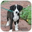 Photo 3 - Labrador Retriever/Collie Mix Puppy for adoption in West Milford, New Jersey - CHANEL