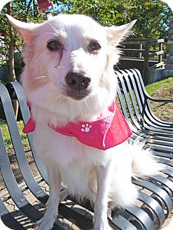 American Eskimo Dog/Husky Mix Dog for adoption in Detroit, Michigan - Sammie-Adopted!